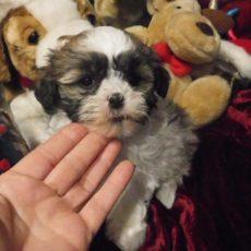Puppies Colorado