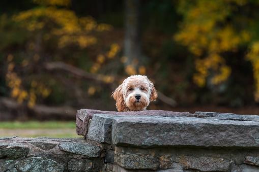 Goldendoodles - Little Darling Pups Colorado