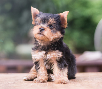 shorkie Pup