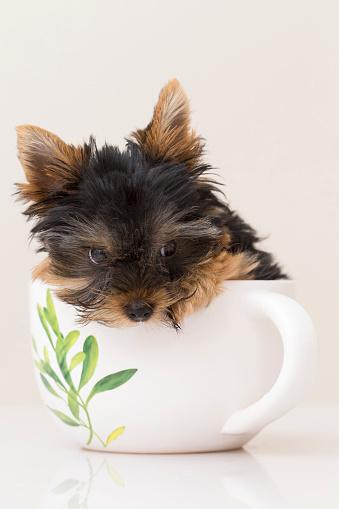 yorkie puppy colorado